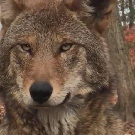 Beautiful red wolf - Video & GIFs   wolf conservation center,red wolf,wolf dog,wolf spirit,spirit animal,beautiful creatures,animals beautiful,animals and pets,cute animals,animals in the wild,strange animals,funny animals
