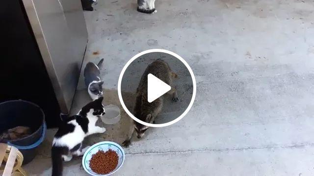 Hey bro, give me some food, LOl, Animals, Funny Raccoon, wild animal, pet food, cat