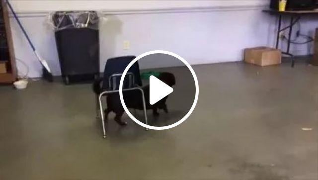 Most intelligent dog, Desk Chair, animals, Stack Chair, Intelligent Dog, Smart Dog