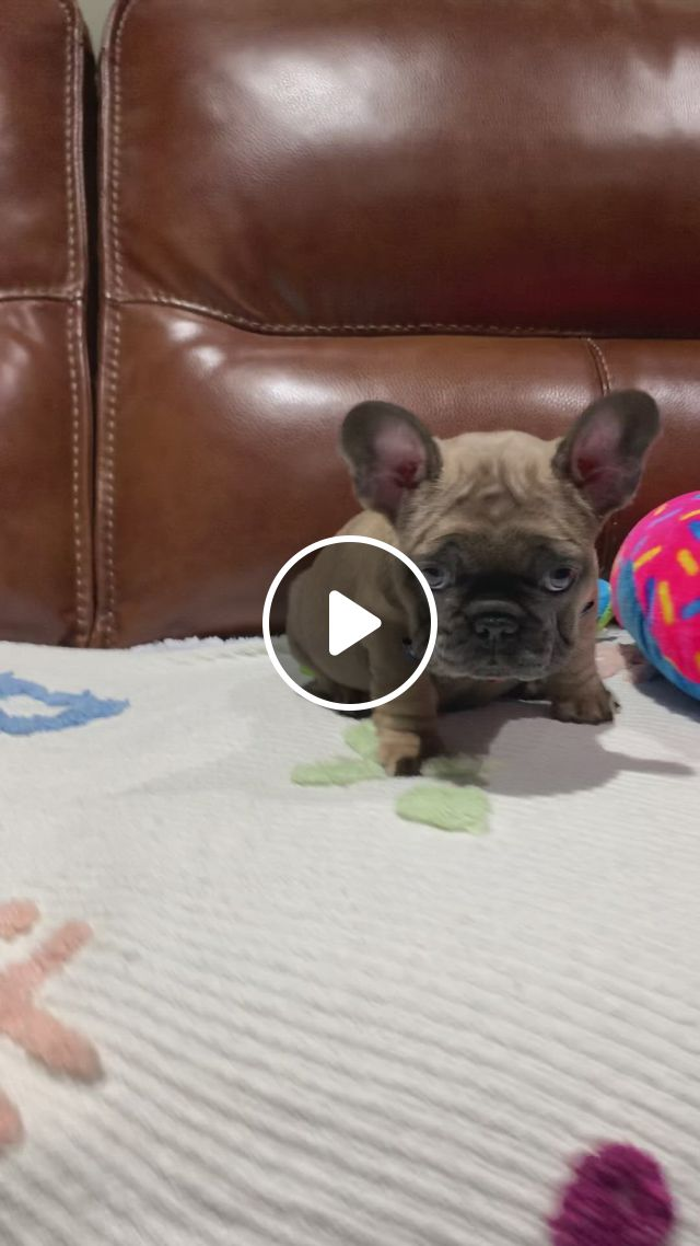 Aro Is Available And Looking For His New Family - Video & GIFs | frenchie puppy, cute animals, cute dogs, buldog, bulldog french, frans, cutest dogs, dog hacks, dog life, doggies