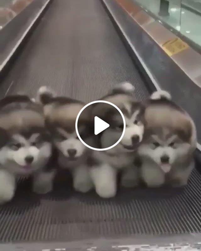 Little Huskies - Video & GIFs | cute dogs, puppies, funny animal, cute little animals, cute funny animals, funny dogs, cute cats, funny puppies, adorable dogs, fun funny, cute dogs and puppies, baby dogs
