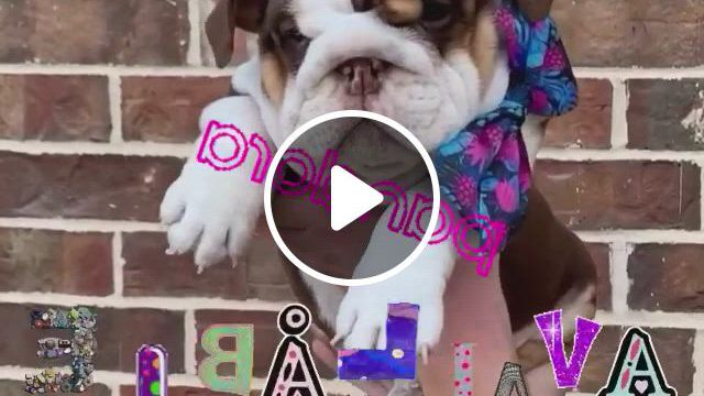 Superior English Bulldogs English Bulldogs And Puppies - Video & GIFs | english bulldog, bulldog puppies, english bulldog puppies, english bulldogs, we fall in love, puppys, our kids, cute baby animals, bullying, fur babies