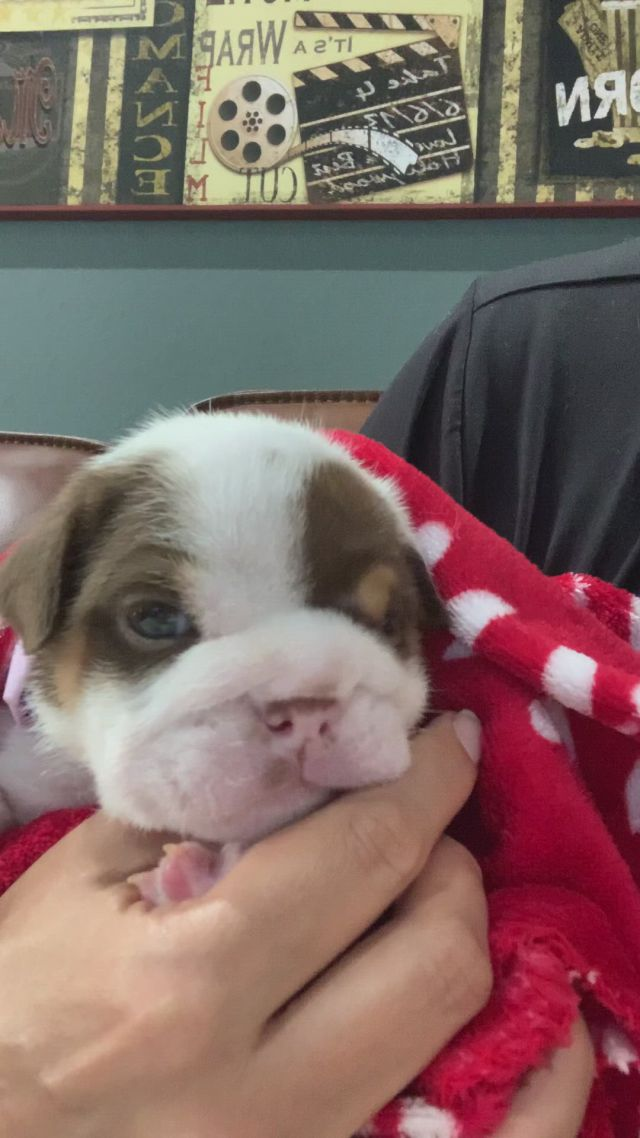 Superior english bulldogs english bulldogs and puppies
