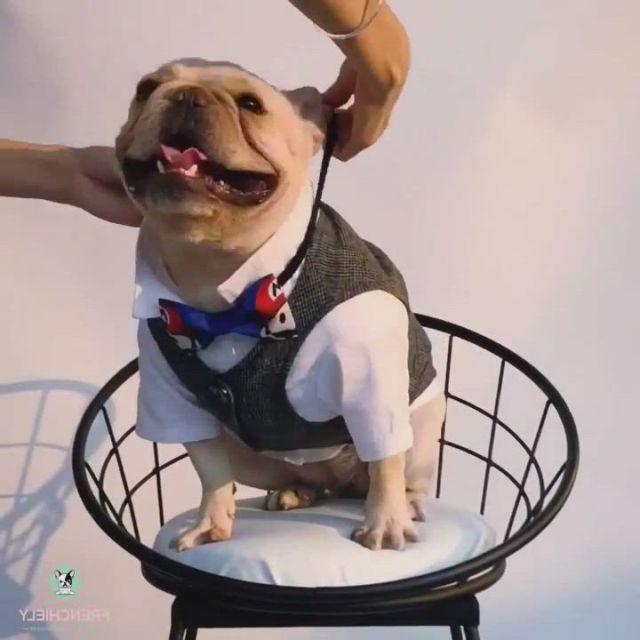 Best Look Dog Wedding Birthday Attires - Video & GIFs   bulldog clothes,dogs,dog wedding,black french bulldogs,cute french bulldog,french bulldog wedding,french bulldog clothes,dog raincoat,medium dogs,winter sweaters,celebrity weddings,dog life
