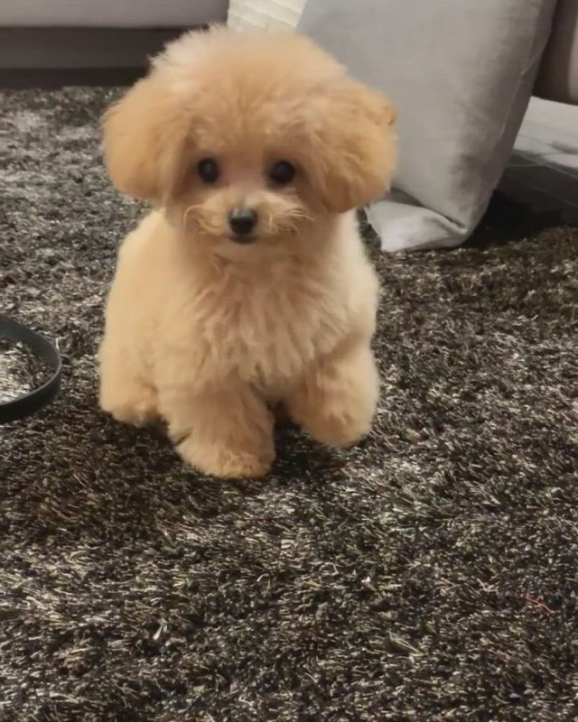 I'm a good boy, now give me the treat - Video & GIFs   cute baby dogs,poodle puppy,cute baby animals,baby animals super cute,cute funny dogs,cute little animals,cute babies,toy poodle puppies,teacup puppies,cute puppies,shipoo puppies