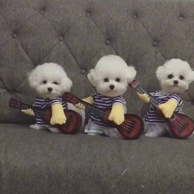 Little bichon guitarists - Video & GIFs   cute baby dogs,cute baby animals,cute baby puppies,baby animals super cute,cute little animals,cute funny animals,cute cats,adorable kittens,super cute puppies,teacup puppies