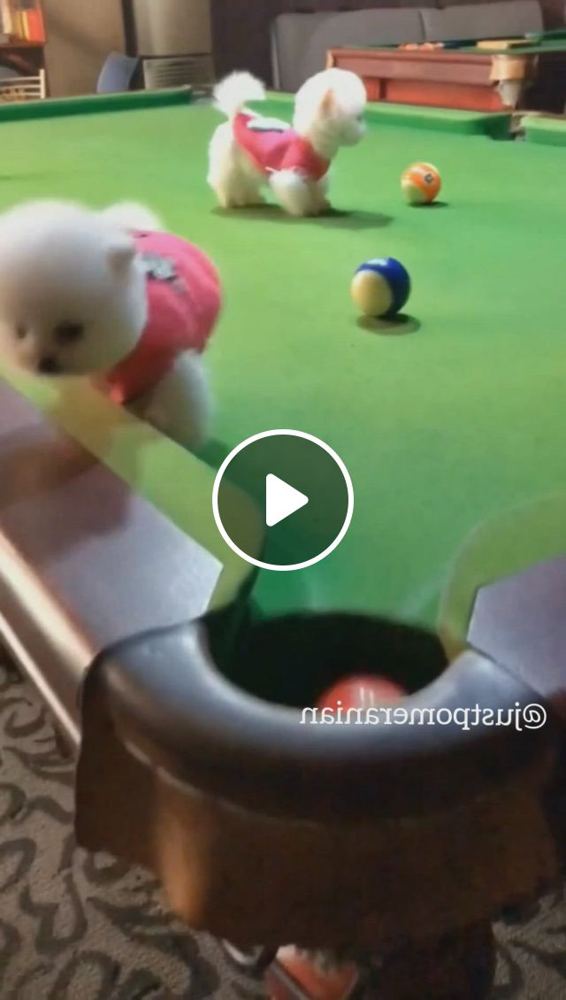 Poor Pomeranian Baby - Video & GIFs   cute baby dogs, baby animals super cute, cute baby puppies, cute white puppies, white pomeranian puppies, super cute puppies, teacup puppies, tiny baby animals, cute little animals, cute funny dogs