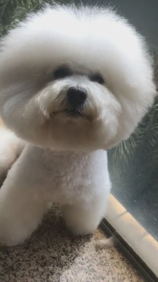 Are you looking at me - Video & GIFs   bichon frise dogs,bichon frise puppy,toy poodle haircut teddy bears,maltese haircut,poodle haircut,plastic dog bowls,dog food bowls,coton de tulear puppy,fluffy dogs,pet fashion