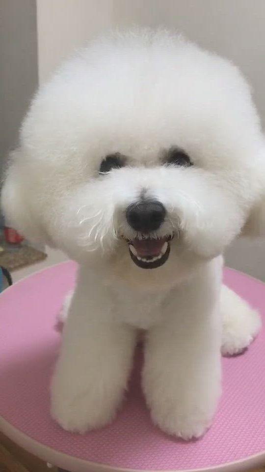Do you like my smile - Video & GIFs   bichon frise dogs,cute baby animals,bichon frise puppy,plastic dog bowls,dog food bowls,cute dogs and puppies,pet dogs,cute pomeranian,bichons,pet fashion,bichon frise,dog supplies
