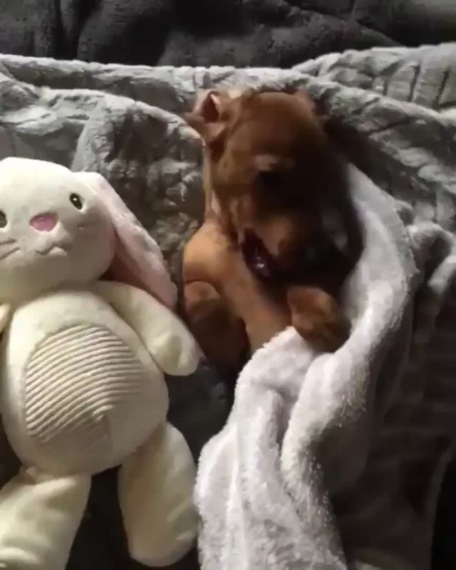 Night night - Video & GIFs | curiosidades animales,animales bebe bonitos,animales adorables,animals and pets,baby animals,funny animals,cute animals,animal memes,dachshund funny,funny dogs,cute dogs,funny puppies