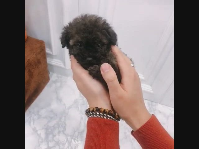 I love you teacup poodle - Video & GIFs | tea cup poodle,toy poodle puppies,teacup puppies,teacup poodles for sale,mini poodles,micro poodle,silver poodle,poodle puppies for sale,teacup pomeranian,cute baby animals,dog toys