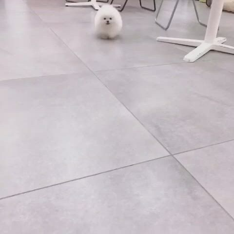 Isn't it lovely to see a pomeranian child circling around - Video & GIFs | teacup puppies,cute baby animals,cute teacup puppies,teacup pomeranian puppy,teacup pigs,puppy images,small pigs,white puppies,dog wedding