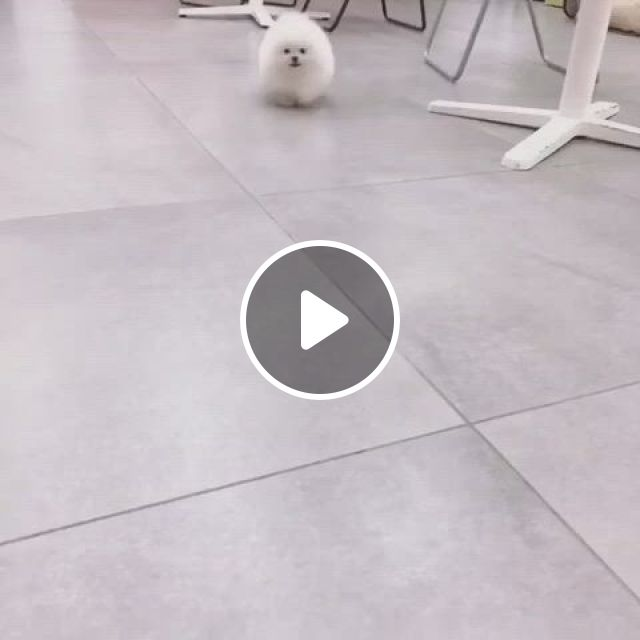 Isn't It Lovely To See A Pomeranian Child Circling Around - Video & GIFs   teacup puppies, cute baby animals, cute teacup puppies, teacup pomeranian puppy, teacup pigs, puppy images, small pigs, white puppies, dog wedding