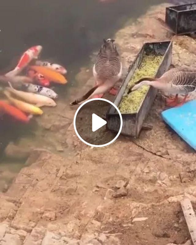 Duck feeding fish, duck, animals, fish