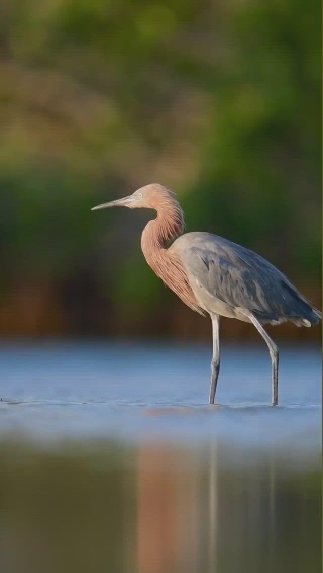 Handsome Reddish Egret Hunting for Dinner