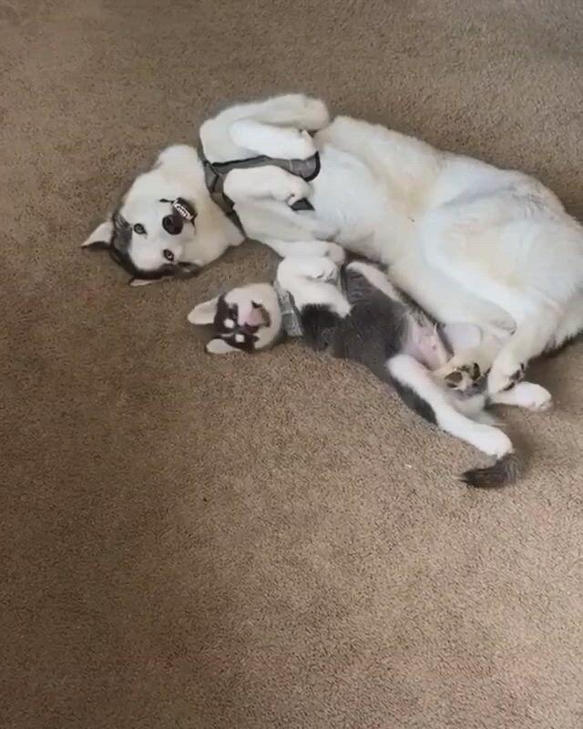 Cute husky puppy craziness