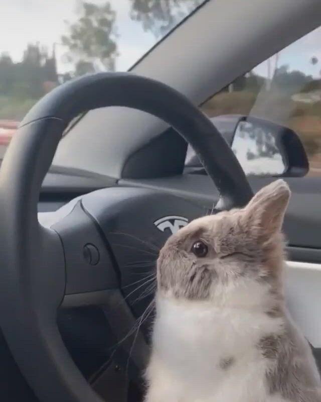 Driving bunny