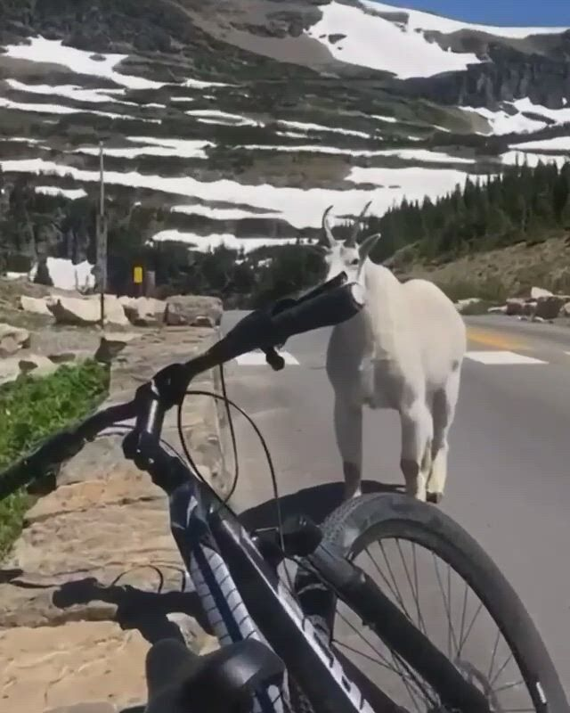 Is that a big goat - Video & GIFs | gifs,best cities,what is like,night time,wildlife,the unit,mountain,wtf funny