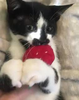 Cute kitty playing - Video & GIFs | cats,spotted animals,kitty,cats and kittens,cute cats,puppies,pets,fur babies,nature,friends