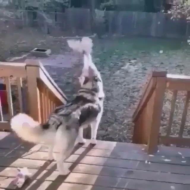 Husky howling in subzero temps - Video & GIFs | funny animal,cute animals,funny animals,cute funny animals,cute baby animals,funny dogs,animals and pets,funny husky,nature animals,beautiful dogs,animals beautiful
