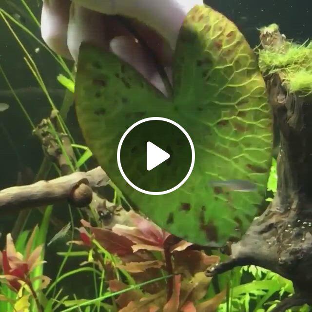 The Underside Of The Nymphaea Zenkeri - Video & GIFs | plants, planted aquarium, aquatic plants