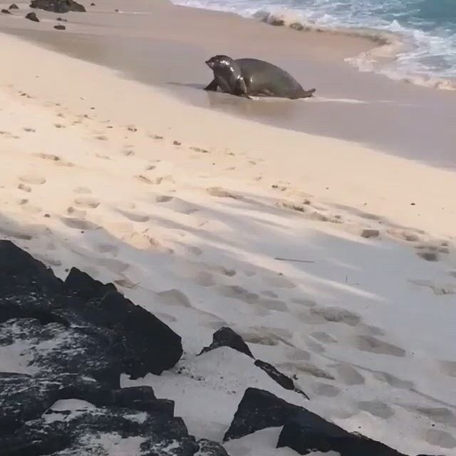 Hard working day hawaiian monk seals - Video & GIFs | cute animals,animals friends,cute little animals,hawaiian monk seal,wildlife,pets,day,beach,water,outdoor
