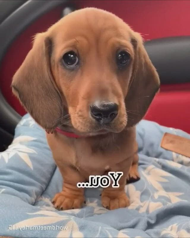 PICK HER UP RIGHT NOW - Video & GIFs | teacup poodle puppies,cute puppies,cute funny animals,cute cats,pets 3,kitten love,dachshund love,kittens cutest,i love dogs