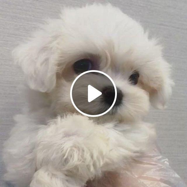Cute Mini Maltese Puppy - Video & GIFs   maltese puppy, puppies, cute small dogs, super cute puppies, baby animals super cute, cute baby dogs, cute little puppies, cute dogs and puppies, cute little animals, cute funny animals, cutest small dog breeds