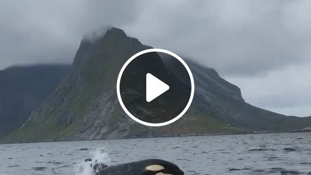 Killer Whale - Video & GIFs   nature, beautiful world, background, swan song, gifs, places to visit, relax, waves, sunset, cool stuff