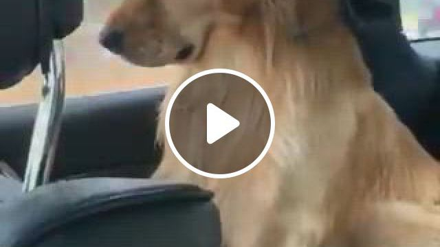 This Pup Is Really Sad At Having To Leave The Beach - Video & GIFs   perro labrador golden, perros golden retriever, labrador retriever, funny golden retrievers, cute puppies golden retriever, gold retriever, female golden retriever, english golden retrievers, labrador puppies