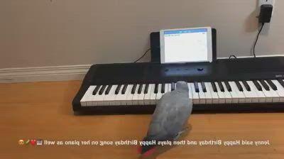 African Grey Smart Parrot