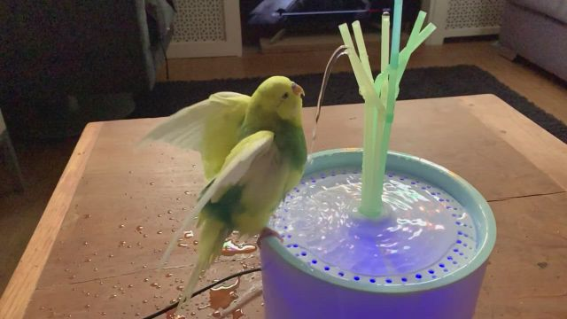 Allow your parrot's pet to swim
