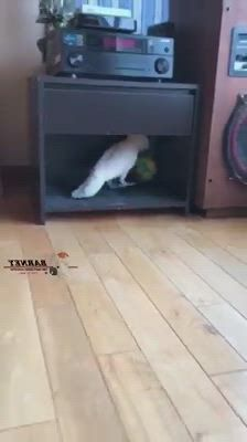 Cockatoo Parrot play soccer