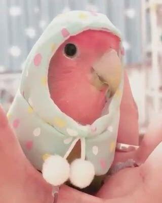 Cute Lovebird - Video & GIFs   cute animals,cute baby animals,love birds pet,super cute animals,cute funny animals,cute birds,funny parrots