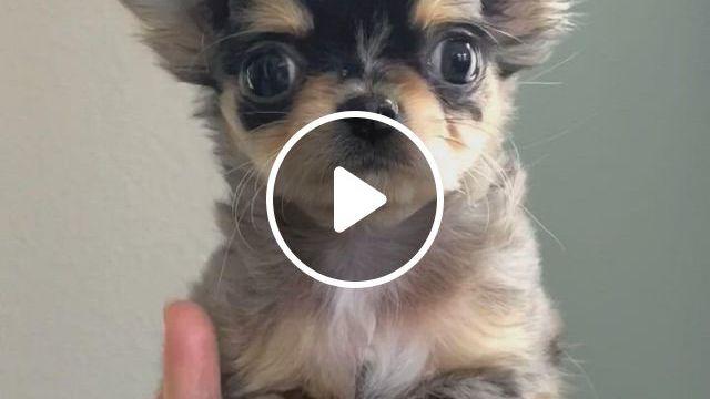 Cutest Ever Longhair Merle Chihuahua Boy - Video & GIFs | blue merle chihuahua, teacup chihuahua puppies, cute chihuahua, cute puppies, cute dogs, baby animals super cute, cute animals, panda puppy, otters cute