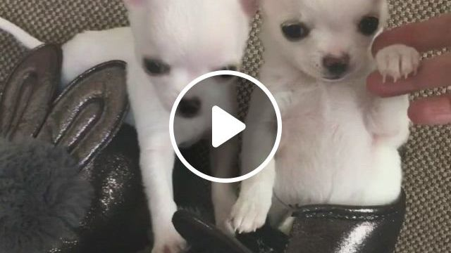 Las Vegas Tiny And Exclusive Color Chihuahua Puppies - Video & GIFs   chihuahua puppies, chihuahua, puppies, apple head chihuahua, white chihuahua, teacup chihuahua, baby puppies, pet dogs, dog cat, pets, cute baby animals