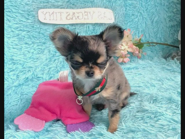 MerleTiny and handsome longhair chihuahua boy from Las Vegas tiny chihuahua
