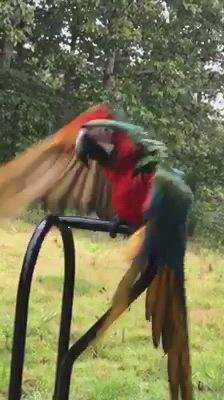 Our macaw really hates to take a shower