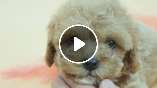 Teacup Maltipoo Female Jane - Video & GIFs   toy poodle puppies, dachshund puppies, cute puppies, cute dogs, teacup maltipoo, teacup puppies for sale, dog videos, puppy party, cute little animals