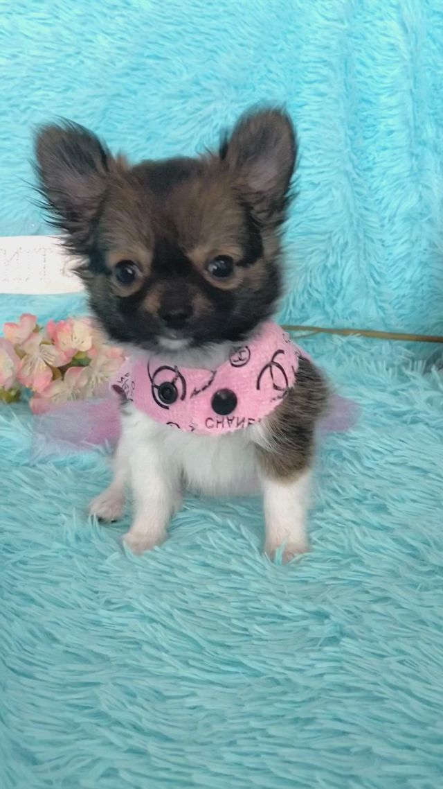 Tiny chihuahua puppy, 9 weeks old. Las Vegas breeder