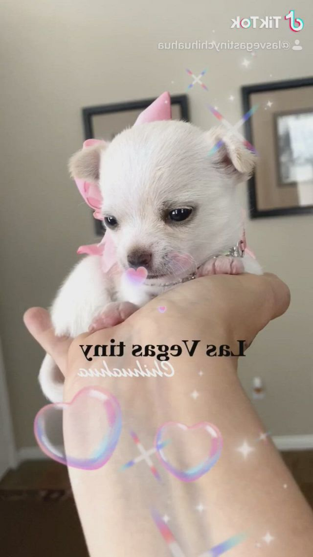 Tiny White Chihuahua Puppy Video Gifs