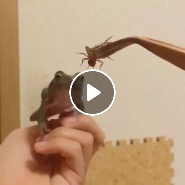Clumsy Frog, Frog, Animals, Hunting, Plastic Feeding Tongs, clumsy, funny fail