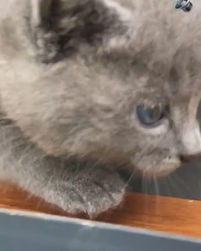 Cat Evolution of Squeak to Meow