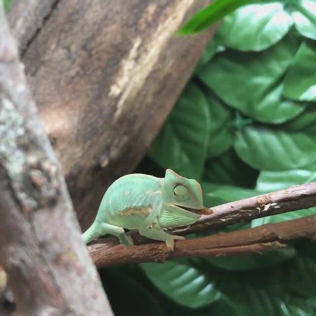 Plants for Chameleon Cage - Video & GIFs | chameleon pet,chameleon cage,pet frogs,les reptiles,cute reptiles,reptiles and amphibians,baby chameleon,veiled chameleon,jungle animals,baby animals,cute animals,chameleon terrarium