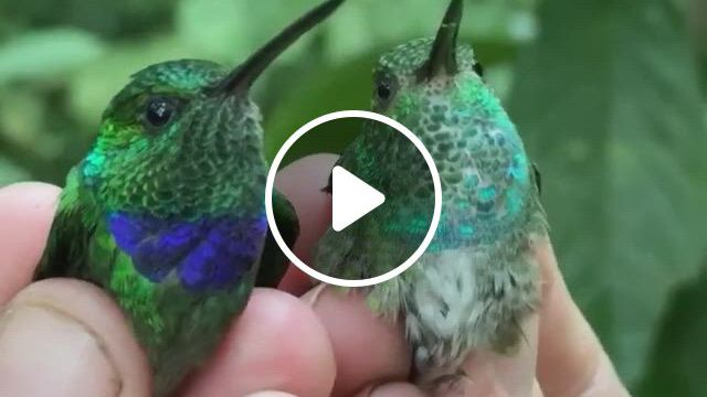 Blue Chested And Purple Chested Humminbirds - Video & GIFs   weird animals, cute baby animals, animals, cute funny animals, crazy animals, wild animals, rare birds, fantasy weapons, bird feathers, beautiful birds, beautiful creatures