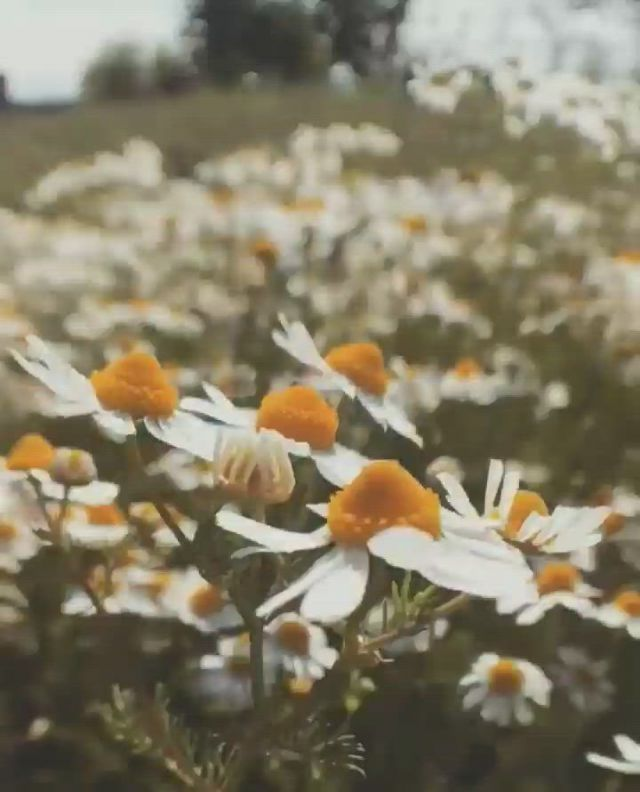 Flowers - Video & GIFs | papatyalar,kır cicekleri,yolculuk,travel list,ganesha,solitude,life is beautiful,instagram story,daisy,places to visit,passion,rose