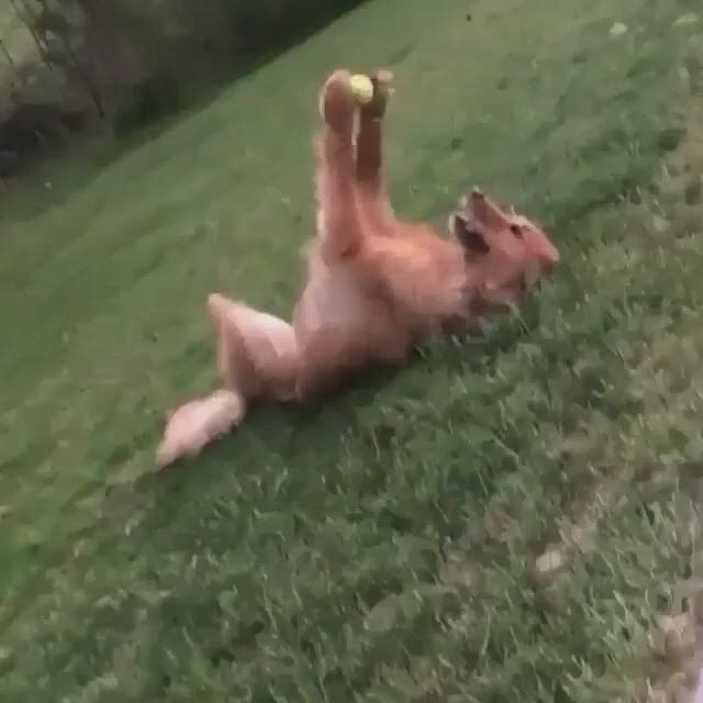 That's my ball and i love it - Video & GIFs | funny dogs,cute dogs,dogs,funny dog ,cute baby animals,funny animals,animal jokes,dog halloween costumes,dog costumes,pet news