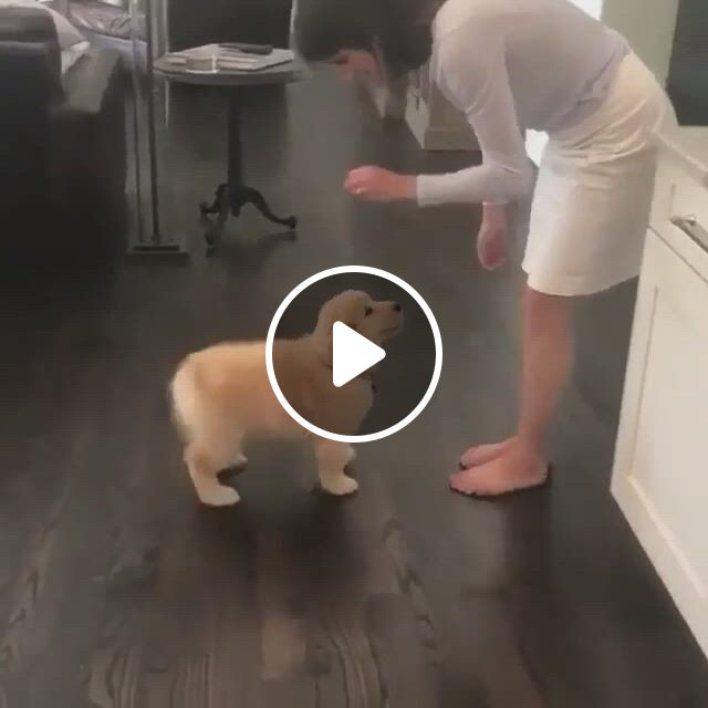 Cute Golden Retriever Shaking Hands - Video & GIFs | how to teach golden retriever to shake, dog tricks, dog shaking hand