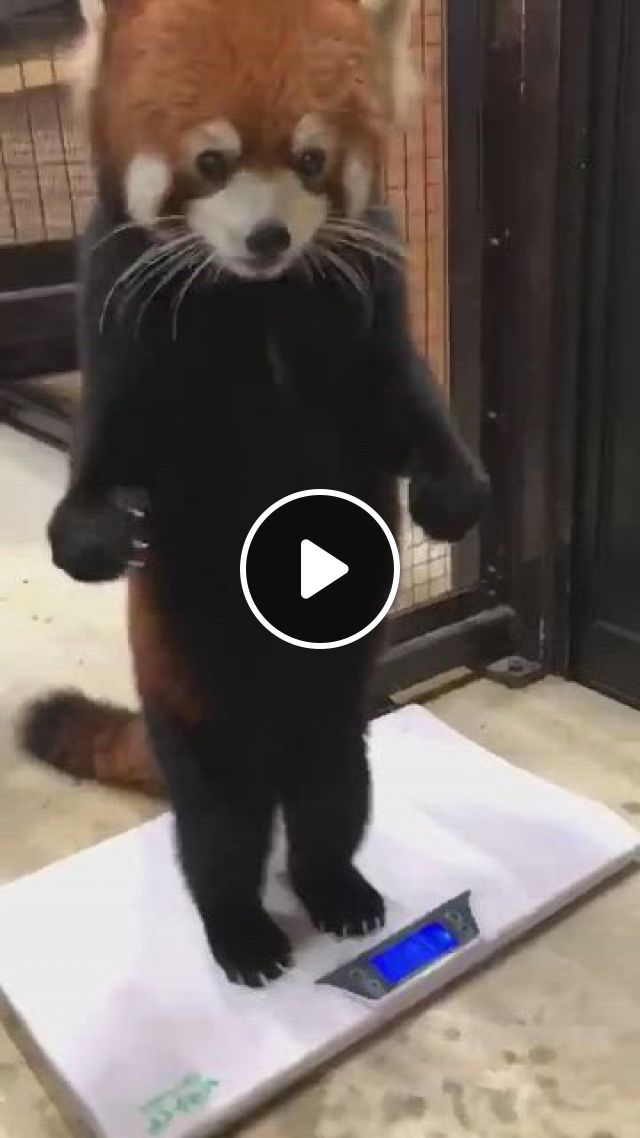 Apple Can Make Red Panda Happy To Be Weighed - Video & GIFs | cute creatures, beautiful creatures, animals beautiful, animals amazing, majestic animals, nature animals, animals and pets, wild animals, small animals