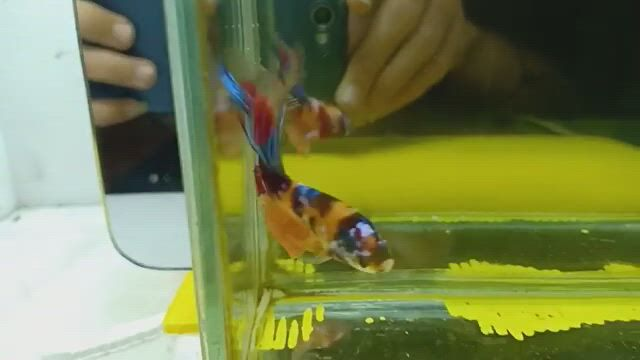 Beautiful Live Male Multicolored Halfmoon Betta Siamese Fighting Fish